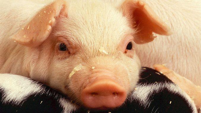 Noi cazuri de Pestă Porcină. FOTO skeeze